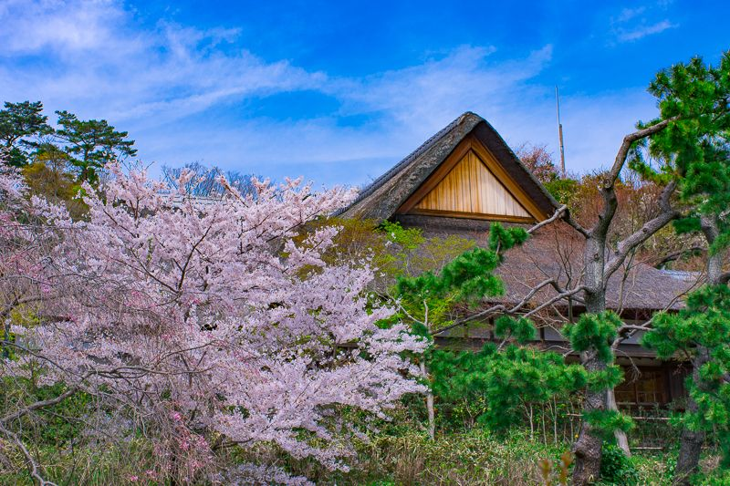 三渓園ならではの「茅葺屋根」と「桜」!「鶴翔閣」