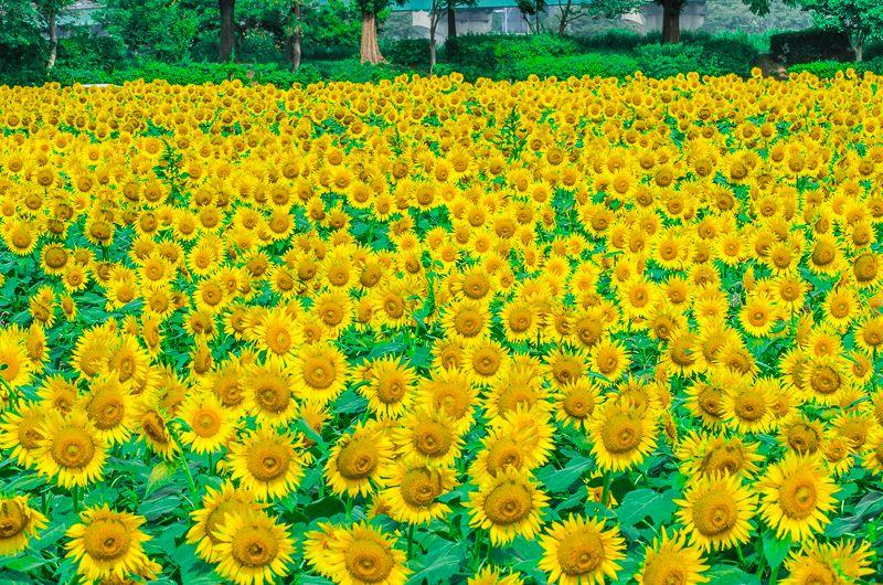 関東最大級55万本!座間市ひまわり畑の大絶景!