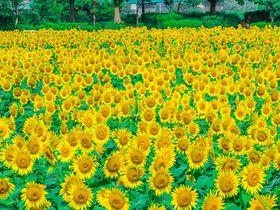 神奈川「座間市ひまわり畑」関東最大級55万本の大絶景が超おすすめ!