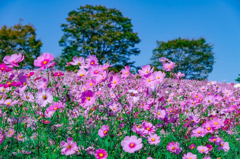 コスモスの名所!秋の昭和記念公園に行こう!