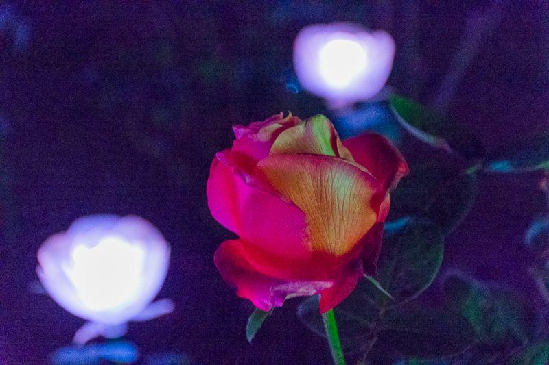 あしかがフラワーパークならでは!「花」のイルミネーション