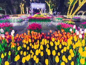 ライトアップも!江の島「ウィンターチューリップ」で冬も花見を楽しもう!