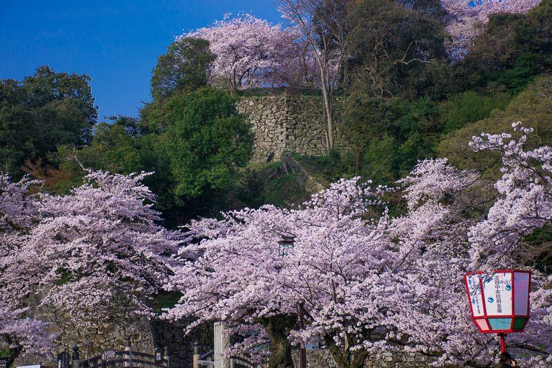 彦根城は桜の名所!