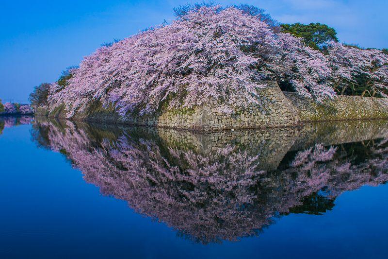 彦根城の桜は「映り込み」も必見!