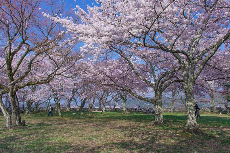 彦根城の様々な桜鑑賞ポイント