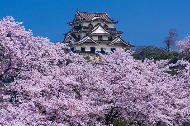 彦根城のシンボル!国宝天守閣と桜