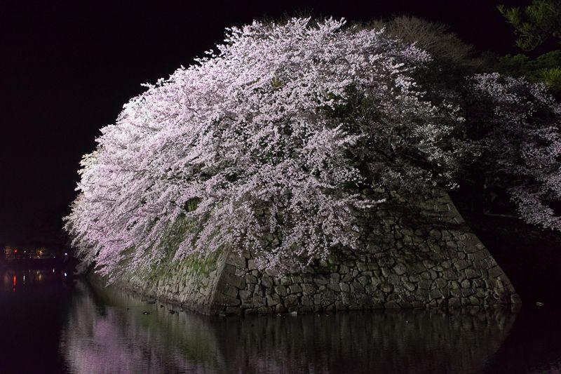 彦根城では夜桜ライトアップも超おすすめ!