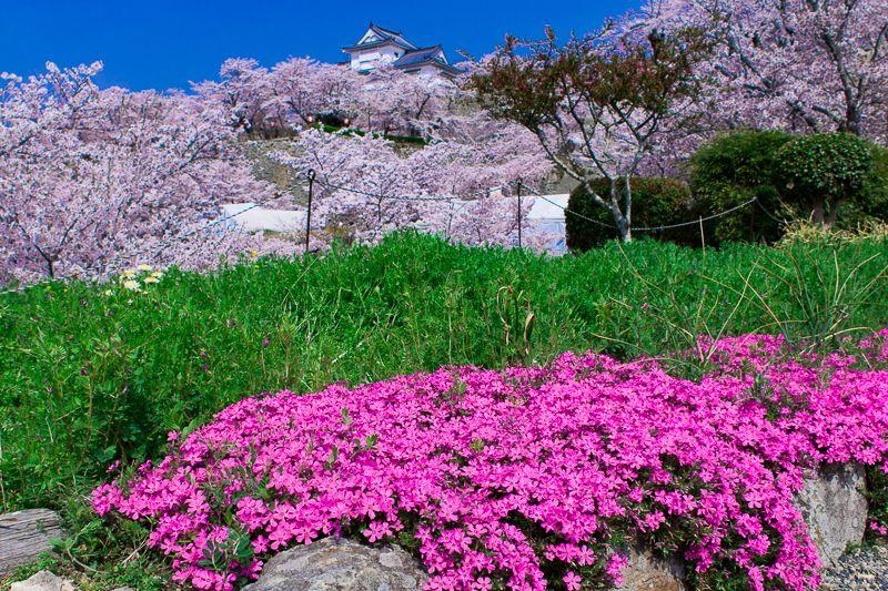 桜だけじゃない!津山城では菜の花や芝桜も楽しめる!