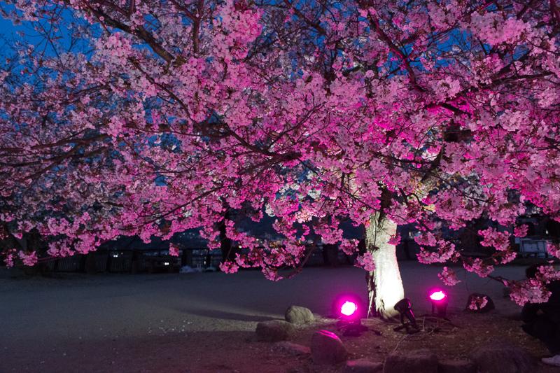 松山城の桜はライトアップも必見!