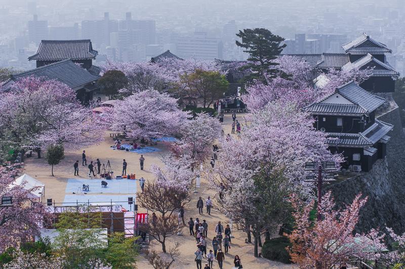 松山城現存天守と桜