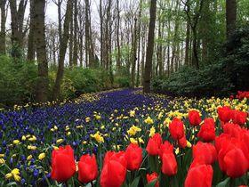 春一番乗り!花々咲き乱れるオランダ・キューケンホフ公園