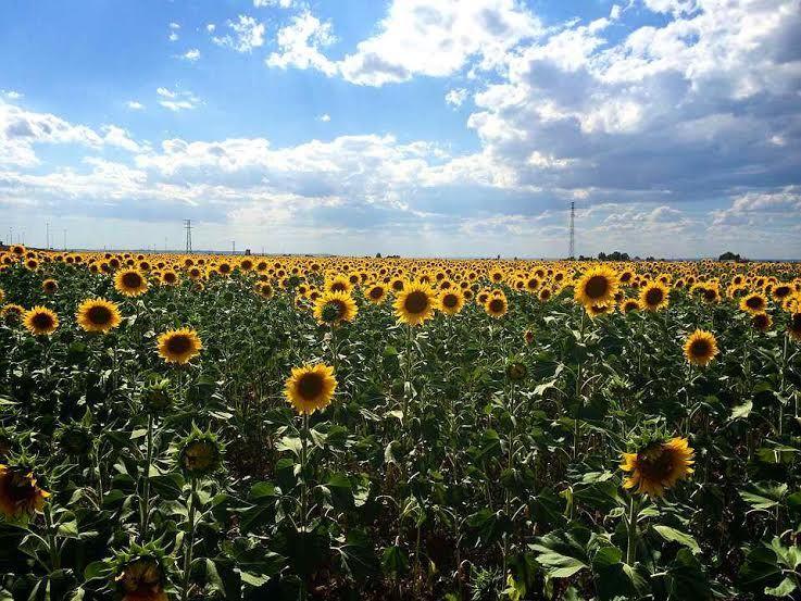 どこまでも続くひまわり畑!初夏のアンダルシア・感動の旅
