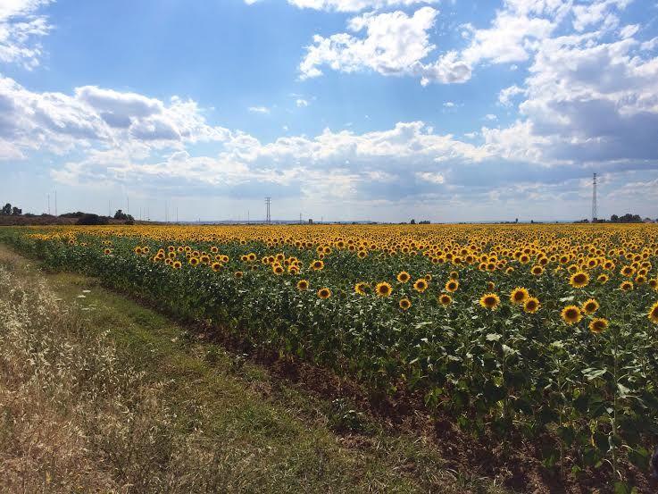 セビリアからタクシーに乗ってひまわり畑へ