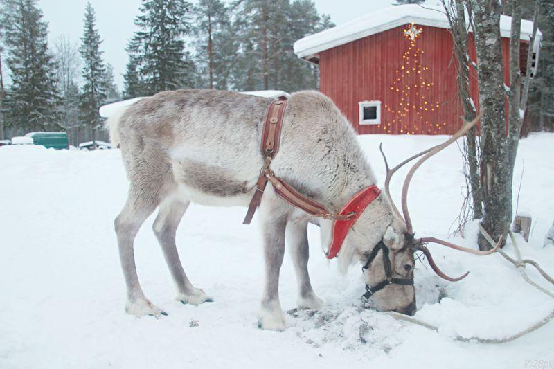 フィンランドでトナカイ!トナカイ牧場「ポロ・パヌマ」
