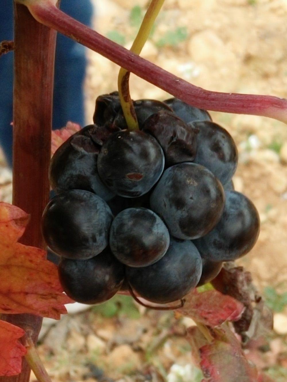 ブドウ畑と固有品種の「ボバル」