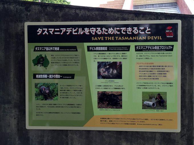 絶滅危機から救いたい!アジア初のタスマニアデビル保全プロジェクト参画