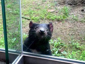 可愛すぎる絶滅危惧種「タスマニアデビル」公開!多摩動物公園