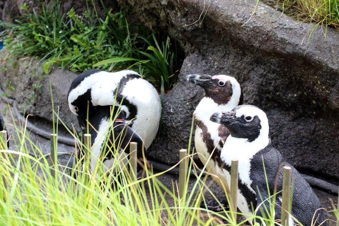 ペンギンに手が届きそう!「草原のペンギン」