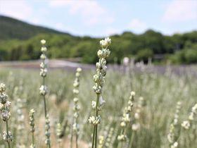 都心から約1時間!埼玉の新名所「千年の苑ラベンダー園」は日本最大級