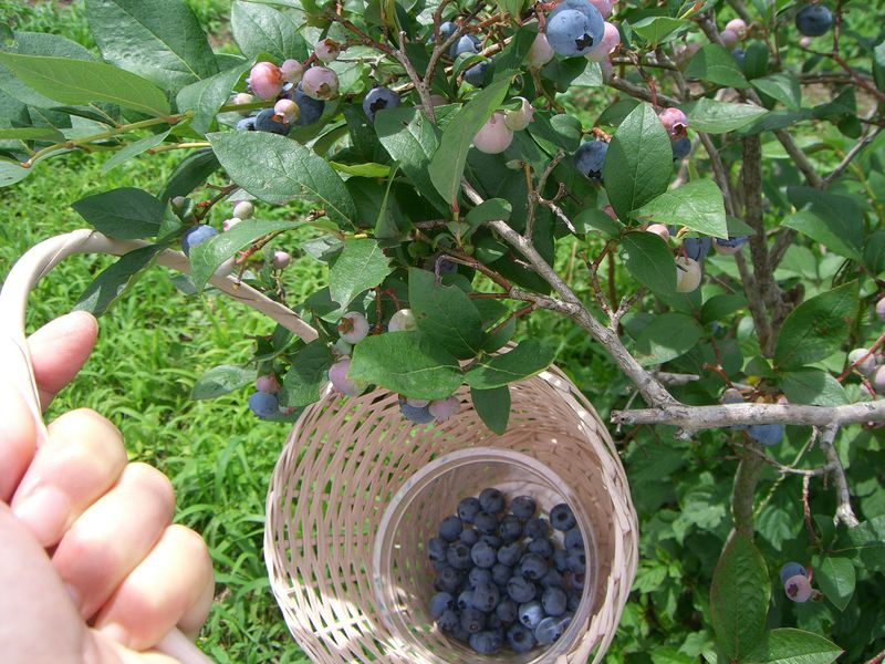 つくばの「ルーラル吉瀬」でブルーベリー狩りやキャンドル作りを楽しむ夏!