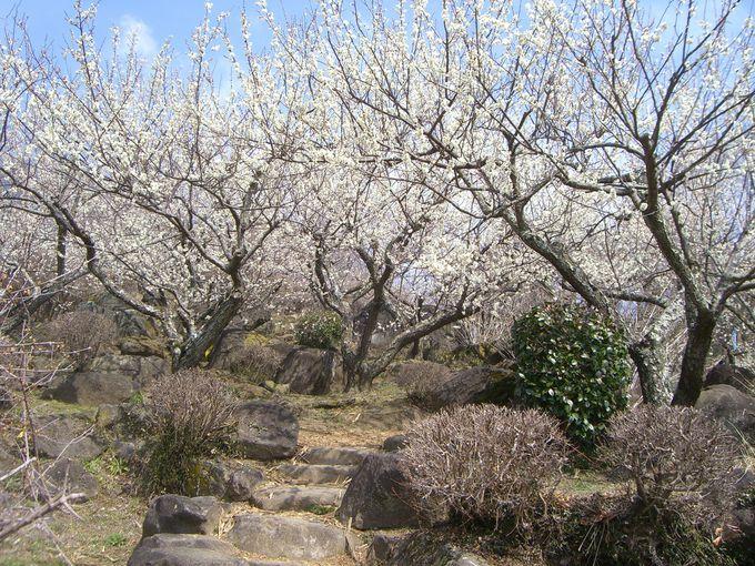 1000本の梅と梅まつりのお楽しみ!「茨城・筑波山」