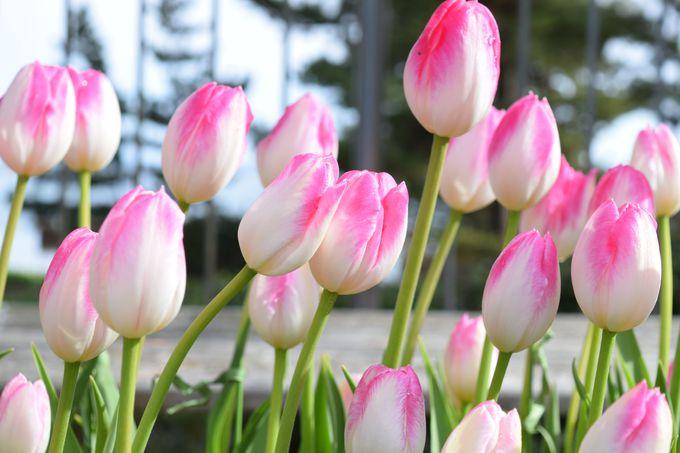 極寒に咲く「アイスチューリップ」