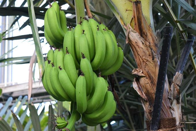 私たちの暮らしを支える植物エリア「熱帯資源植物温室」