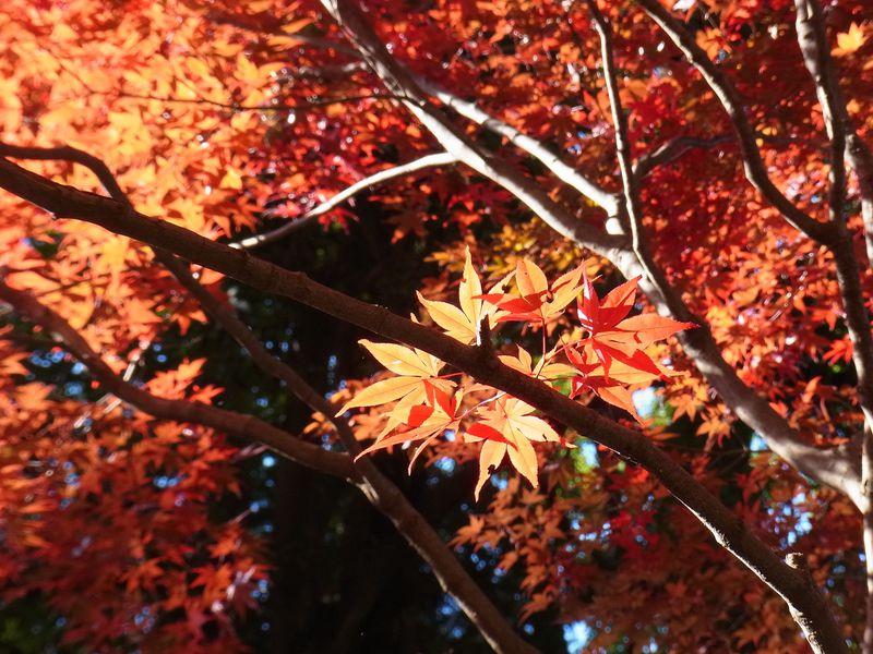 真っ赤に染まる林が広がる!武蔵野の古刹〜野火止用水を歩く