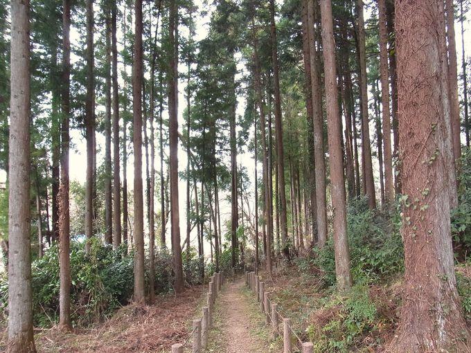 杉木立の斜面に群生しています