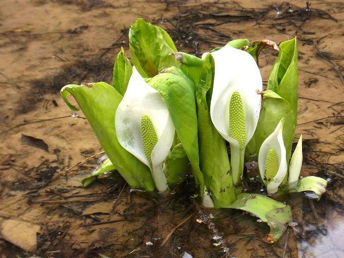 春に花をつける高山植物といえば、水芭蕉!