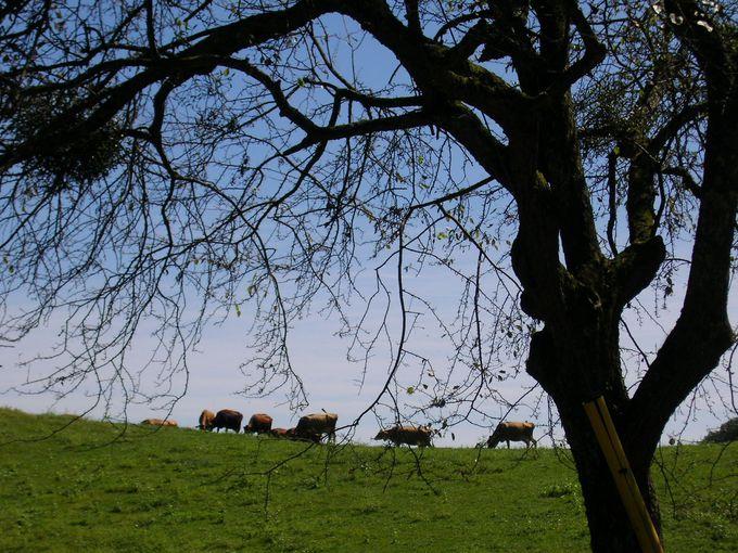 のんびりと草地を歩く牛の群れと出会える!
