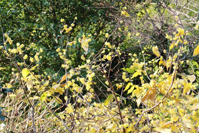 黄色く光り輝く花は蝋梅