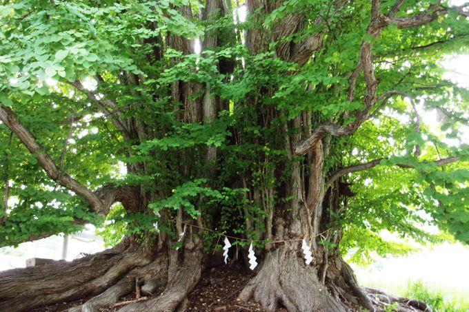 お祈りして開運!樹齢700年のカツラの大木