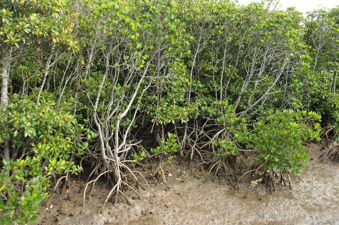 宮古島最大の島尻マングローブ林でシオマネキに招かれる
