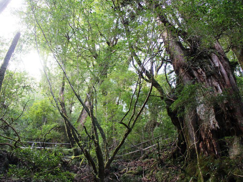 神秘の森ヤクスギランドに足を踏み入れる
