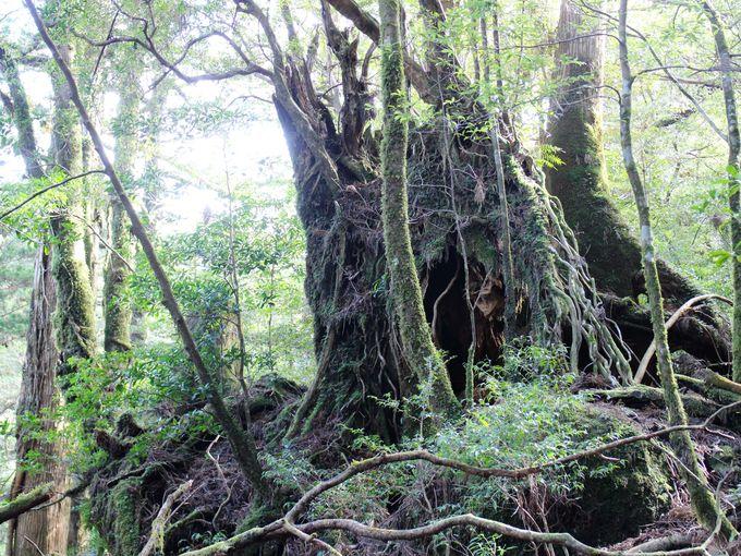 樹齢数百年の小杉が新しい森を作る