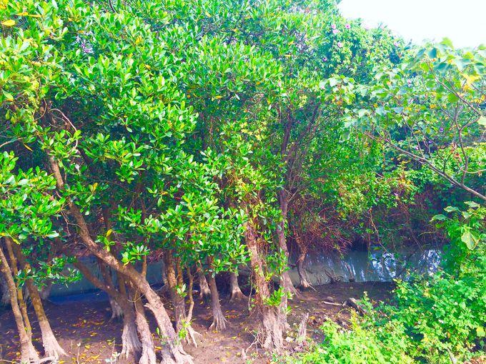 マングローブのある自然保護へ