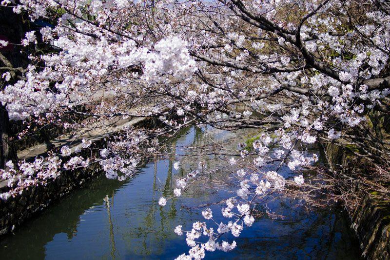 花びらが舞い落ちる倉敷川で川舟流し体験