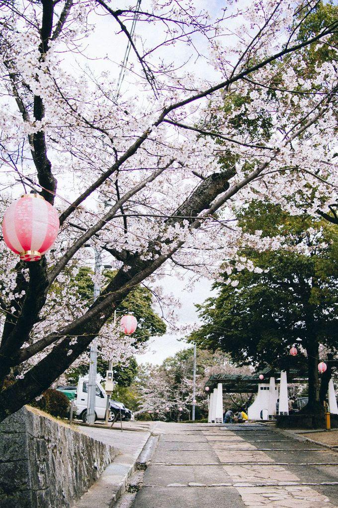 夜桜ライトアップや境内でお茶席も!倉敷桜まつり
