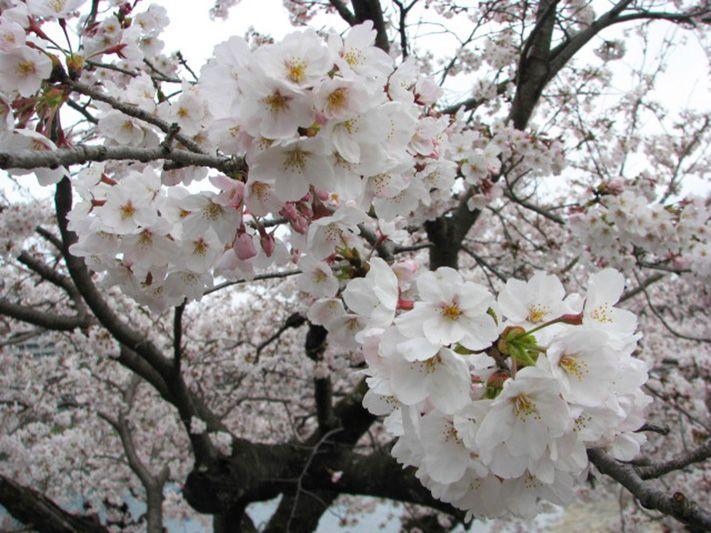 「大宰府政庁跡」は、市民がつどう桜の名所。