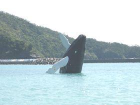 水族館では見られない!冬の座間味島でザトウクジラに会いに行く!