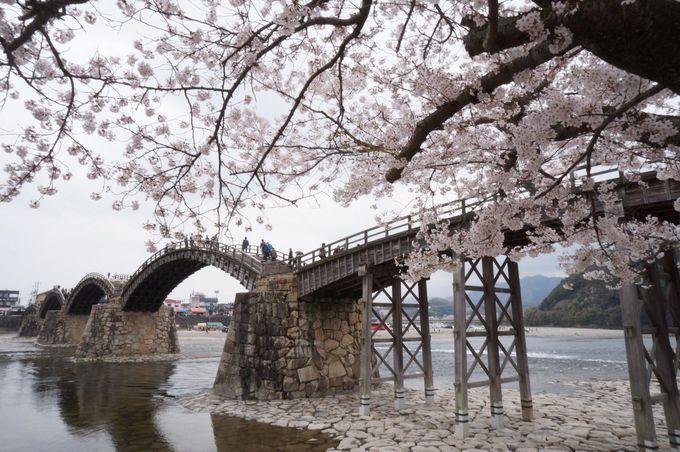山口県の春は錦帯橋から始まる!