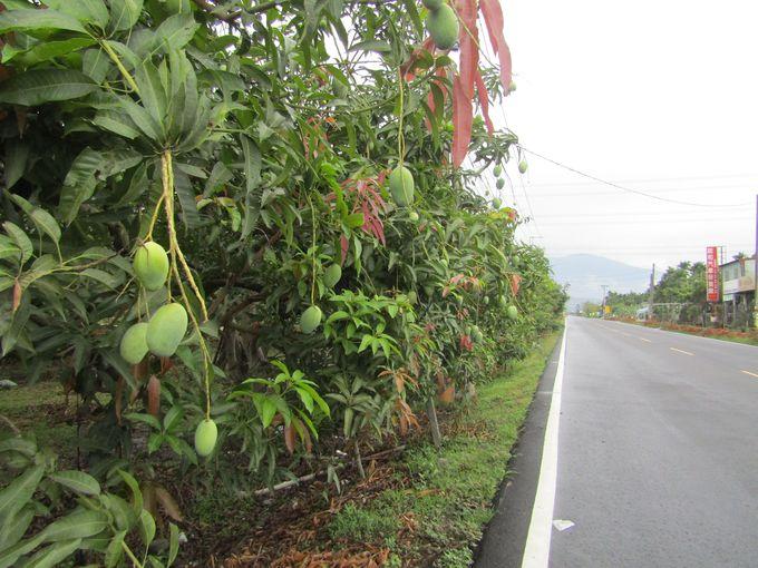 三和村はメイン通り沿いにマンゴー!マンゴー!