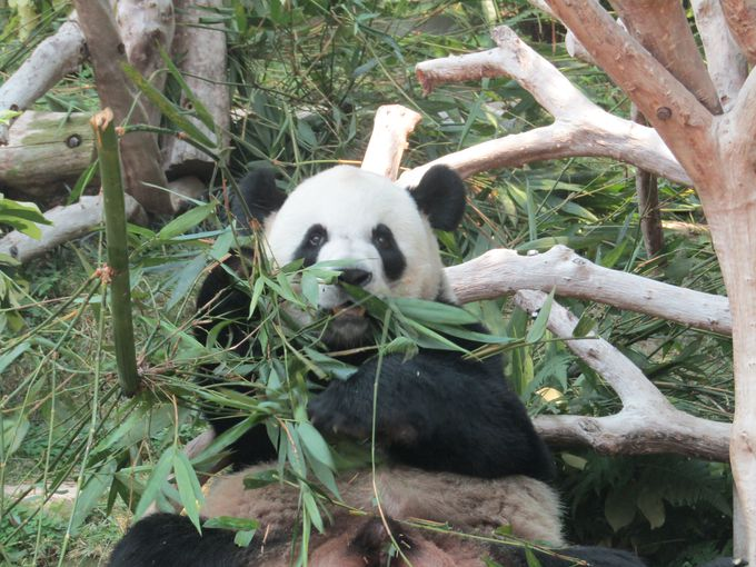 パンダは、実はマカオきってのエンターテイナー?
