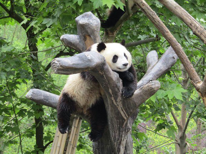 2.中国パンダ保護研究センター