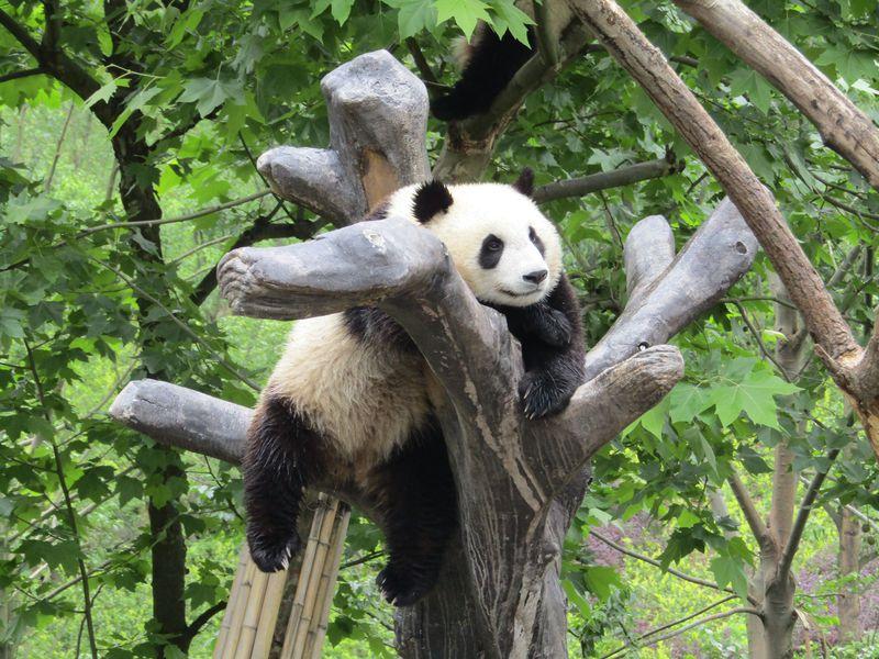 やっぱり行きたい「中国パンダ保護研究センター都江堰基地」