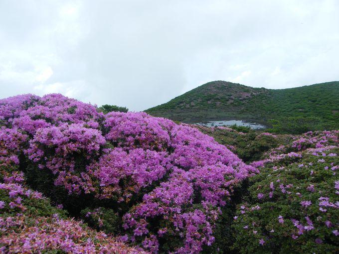家族でも楽しめる大船山。ミヤマキリシマに埋もれる。