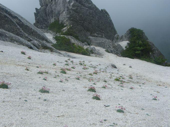 燕岳はコマクサと白砂の世界