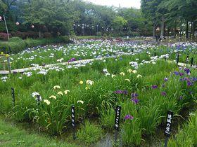 堀切菖蒲園だけじゃない!東京下町のしょうぶ沼公園はハナショウブの見本市