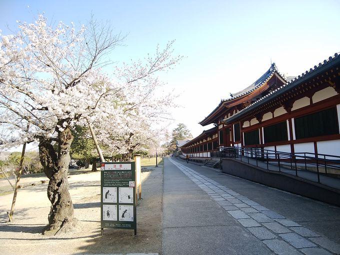 まずはここ!世界遺産「東大寺」の桜